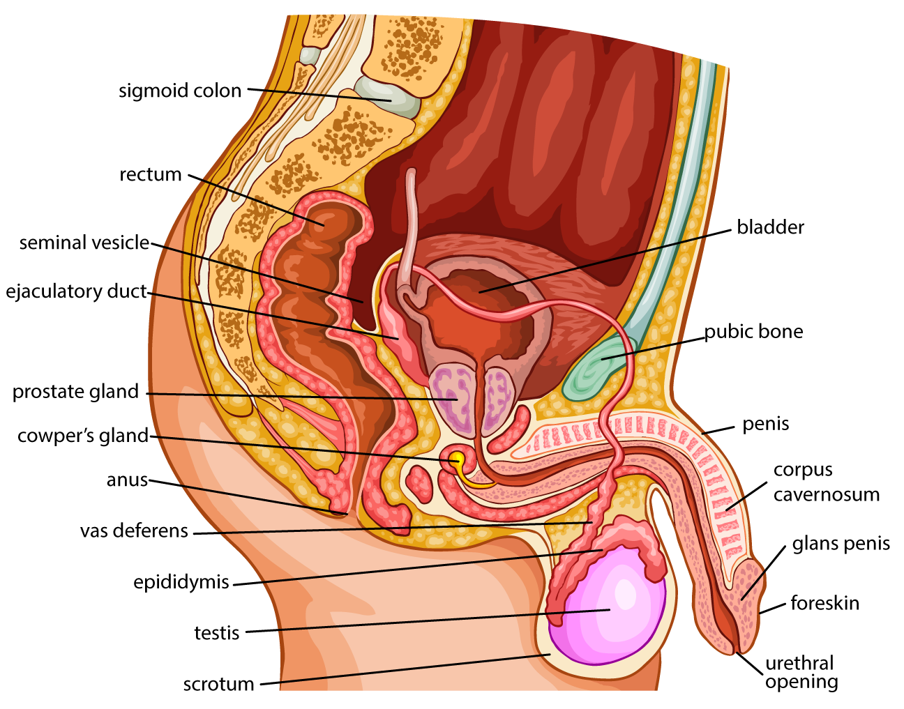 Anatomy | Endocrine and Reproductive System